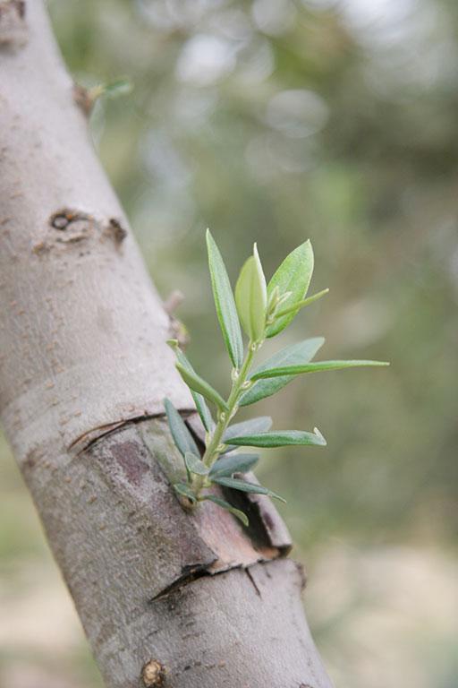 Les techniques de greffe de l 39 olivier - Psylle de l olivier ...