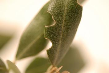 Les insectes et ravageurs de l 39 olivier - Maladie de l olivier en pot ...