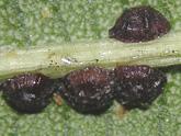 Les insectes et ravageurs de l 39 olivier - Cochenille noire de l olivier ...