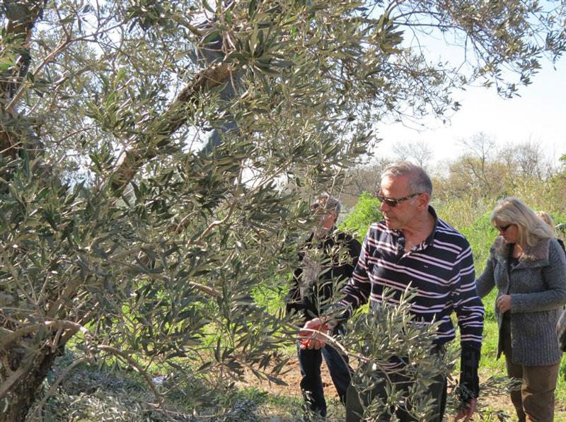 D couvrez toutes les activit s ol icoles de association acopa - Periode de taille des oliviers ...
