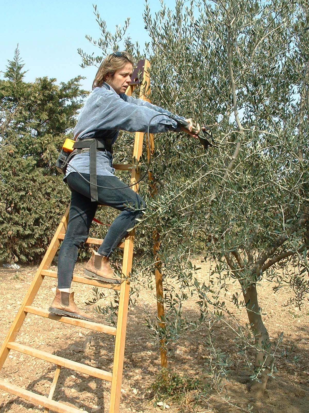 Taille D Un Olivier Comment Faire les techniques de la taille de l'olivier